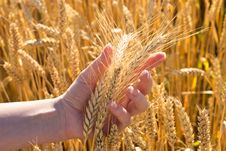 Bunch Of Wheat In Hand Royalty Free Stock Image