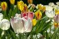 Free Tulip Bloom Royalty Free Stock Photos - 2563788