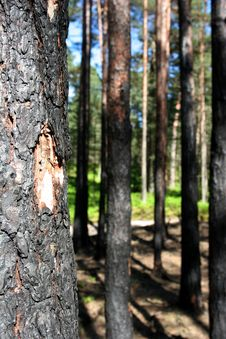 Free Forest After Fire Royalty Free Stock Photo - 2560155