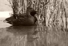 Free Reflections On Life As A Duck Stock Photo - 2560400