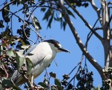 Free Black Crowned Night Heron Stock Photography - 2561332