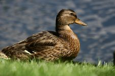 Other Duck Royalty Free Stock Images