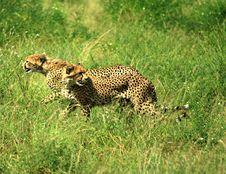 Free Cheetahs Running Stock Photography - 2562182