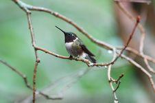Free Humming Bird Stock Photo - 2562600