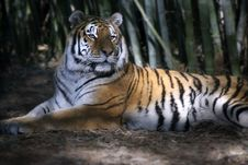 Free Resting Tiger Stock Photography - 2563772