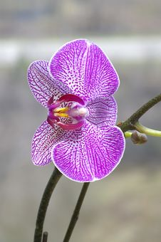 Free Purple Orchid Stock Photo - 2563780