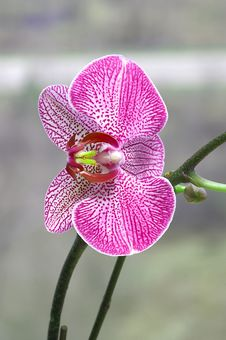 Free Pink Orchid Stock Image - 2563801