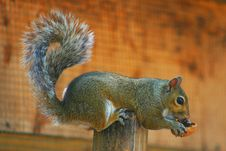 Free Squirrel With Nut 2 Royalty Free Stock Image - 2564246