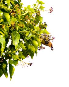 Free Waxwing On Ivy, Isolated Stock Photography - 2564292