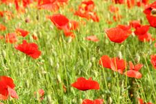 Free Corn Poppy Stock Photo - 2564620