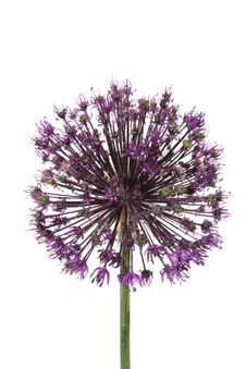 Free Allium Royalty Free Stock Images - 2565009