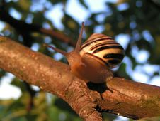 Snail In Garden Royalty Free Stock Images