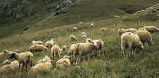 Free Sheep S Stock Image - 2566001