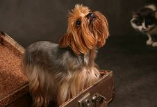 Free Yorkshire Terrier Royalty Free Stock Photo - 2566655