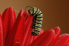 Monarch Caterpillar Royalty Free Stock Photo