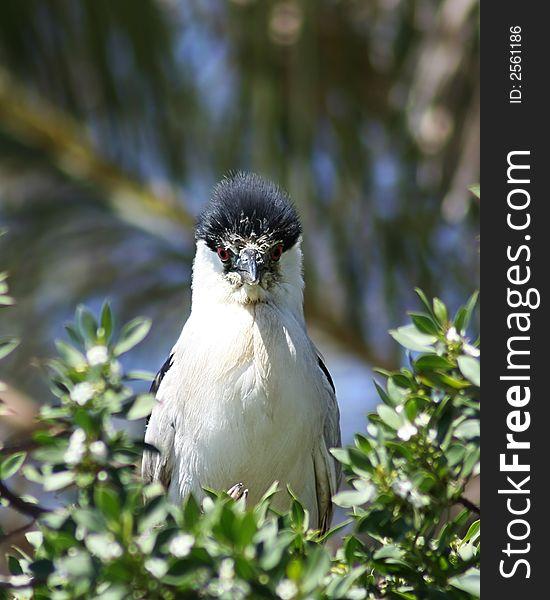 Huffy Heron