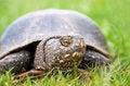 Free European Pond Turtle Royalty Free Stock Photos - 25600848