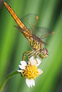 Free Dragonfly Royalty Free Stock Photo - 25601695