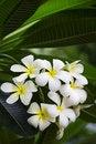 Free Bunch Of White Frangipani Flowers Royalty Free Stock Photos - 25601778