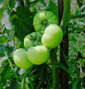 Free Green Tomatoes Stock Photo - 25603250