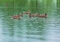 Free Ducks On The Lake Royalty Free Stock Photo - 25603405