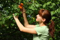 Free Woman Picking Apricots Stock Photo - 25609870