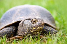 Free European Pond Turtle Royalty Free Stock Photos - 25600848