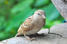 Free Sparrow Resting Stock Photos - 25601353