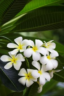 Free Bunch Of White Frangipani Flowers Royalty Free Stock Photos - 25601778