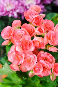 Free Pink Begonia Flowers Stock Images - 25601814