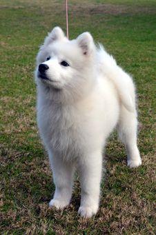 Free Samoyed Puppy. Royalty Free Stock Photo - 25602055