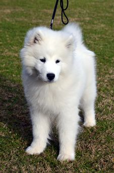 Free Cute Samoyed Puppy. Royalty Free Stock Images - 25602079