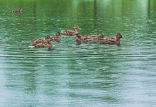 Free Ducks On The Lake Royalty Free Stock Photo - 25603405
