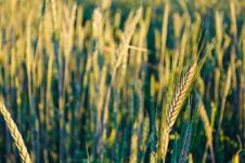 Free Green Barley Ears Royalty Free Stock Images - 25603589