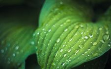 Water Drops On The Fresh Green Leaf Royalty Free Stock Image