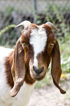 Free Doe Goat Royalty Free Stock Images - 25604319