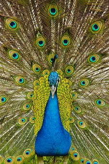 Free Peacock Stock Images - 25604324