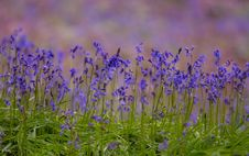 Free Bluebells Stock Photos - 25605193