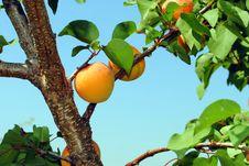 Free Mature Organic Apricots Stock Photography - 25607222