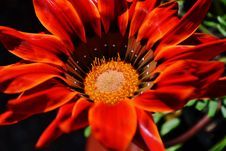 Free Gazania Krebsiana Flower Royalty Free Stock Photography - 25609657