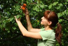 Free Woman Picking Apricots Stock Photo - 25609870