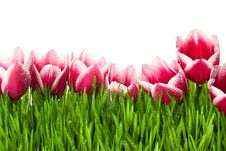 Fresh Tulip And Green Grass With Drops Dew Royalty Free Stock Photos