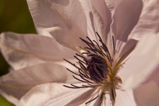 Clematis Chantilly Stock Photos