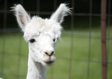 Free Closeup View Of Young Alpaca Royalty Free Stock Image - 25612786
