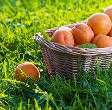 Free Apricots Royalty Free Stock Photo - 25614955