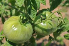 Free Two Unripe Green Tomatoes Stock Photography - 25616302