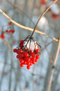Free Frosty Berries Stock Photo - 25629670
