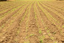 Free Row Of Young Corn On Plow Land Stock Photos - 25624263