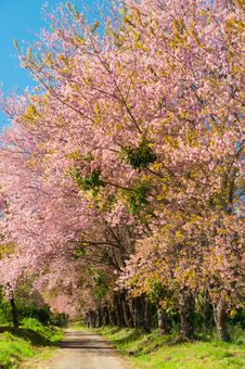 Free The Road And Line Of Pink Blooming Flower Trees Stock Photography - 25624412