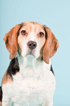 Free Cute Beagle Dog Royalty Free Stock Image - 25625246